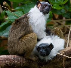 Pied Tamarin - Saguinus bicolor - This primate of the family Callitrichidae is in a very restricted area of the Brazilian Amazon Rainforest and is classified a endangered - Image : © Michael Hadfield