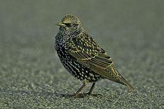 plumage internuptial