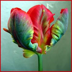 This beautiful parrot tulip, my favorite flower, encompasses so much of what I'm about-- spectacular natural vistas, beautiful architecture, art, color, and design, and a sense of freedom and fun.