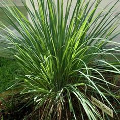 How to plant lemongrass as a natural mosquito repellent in your garden. Won't survive harsh Texas winters, so put in pots that can be brought inside durning cold winter months.