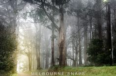 INTRIGUE IN THE DANDENONGS Shrouded in fog the gums in the Dandenongs beckon.