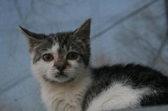 Meet AJ a Petfinder adoptable Domestic Short Hair Cat | East Brunswick, NJ | This little kitten has lost her family, and is all alone, only about 6 weeks, needs a quiet calm...