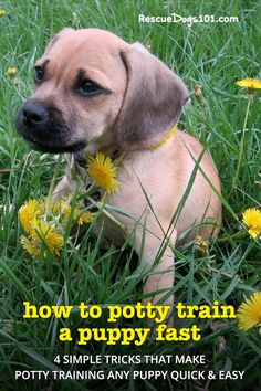 Got a new puppy? Learn how to potty train any puppy fast with my 4 easy to follow steps. #puppy #puppies #dogs #rescuedogs101 Pug Beagle Mix, Puggle Puppies, Beagles, Pug Mix, Chihuahua, Pugs, Designer Dogs Breeds, Dog Safety, Safety Tips