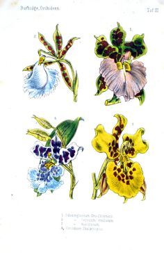 Vintage printables : Botanical - Flower - Orchid - Blue and yellow lots and lots here Vintage Botanical Prints, Vintage Prints, Vintage Floral, Botanical Flowers, Botanical Art, Garden Labels, Stencils, Nature Journal, Floral Illustrations
