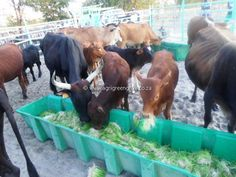 Agri GreenGrow ran a trial to test the efficiency of sprouted fodder on beef cattle during periods of drought Beef Cattle, Trials, Climate Change