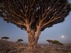 Dragon's Blood Trees Picture -- Landscape Wallpaper -- National Geographic Photo of the Day