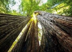 Wall mural HUGE REDWOODS photo wallpaper Large size wall art NATURE Tree