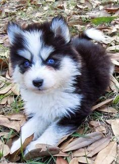 This is a Pomsky! I want a pomsky so bad. Theyre cute as puppies and stay cute because theyre so small :) if only trent liked small dogs :( Pomsky Puppies, Cute Puppies, Dogs And Puppies, Pomeranian Husky, Small Pomeranian, Husky Husky, Pomeranians, Animals And Pets, Baby Animals