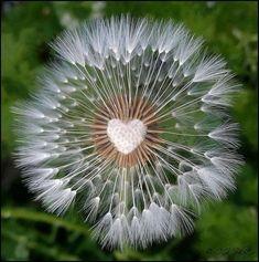 Centre a a dandelion seed heed in the shape of a heart. Heart In Nature, Heart Art, I Love Heart, Happy Heart, Fotografia Macro, Dandelion Wish, Dandelion Clock, Heart Images, Heart Pictures