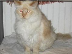 Abominable Snowman is an adoptable Himalayan Cat in Colfax, IL. February 19, 2012, 8:20 pm...