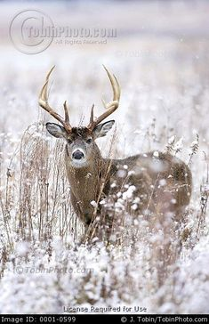 Stock Photo: Photo of a Whitetail Deer