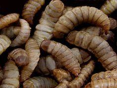 Hermetia illucens larven