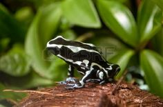 Green and Black Poison Dart Frog - Dendrobates auratus in nature