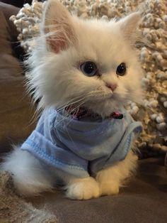 Munchkin Kitten In An Outfit