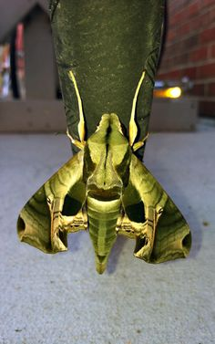 Pandorus Sphinx Moth. Another amazing creature.. Sara, where in the world did you find these beauties? You have wonderful taste in bugs! :)