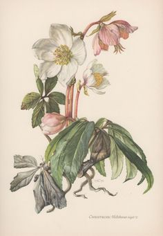 Botanical Print Helleborus niger Christmas by AntiquePrintGarden