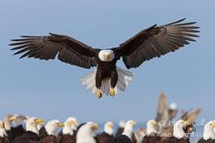 Bald eagle spreads its wings to land amid a large group of bald eagles., Haliaeetus leucocephalus, Haliaeetus leucocephalus washingtoniensis,  Copyright Phillip Colla, image #22588, all rights reserved worldwide.