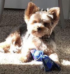 Duke the Yorkie sunbathing!