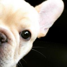 Walter, the French Bulldog Puppy