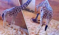 APRIL THE GIRAFFE gives birth - footage shows the calf's long-awaited arrival - https://newsexplored.co.uk/april-the-giraffe-gives-birth-footage-shows-the-calfs-long-awaited-arrival/