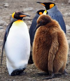 King Penguin Chick by Julien Beytrison: 'Oakum Boys' is the nickname for the brown juvenile King Penguins. (Picking oakum, a fiber such as hemp or jute obtained by unraveling old ropes was a job given in Victorian times to children and prisoners. The fiber was then tarred and used for caulking the seams of wooden ships.) http://en.wikipedia.org/wiki/Oakum #KIng_Penguin #Oakum_Boy