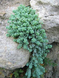 sedum dasyphyllum crassulacées