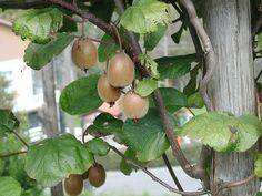 Kiwi. Fruit Plants, Fruit Trees, Trees To Plant, Shade Garden, Kiwi, Vines, Pear, Berries, Vegetables