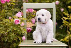 животное, собака, щенок, ретривер, природа, лето, кусты, цветы, розы, стул