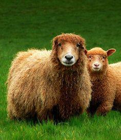 Lovely Ginger Sheep ~ via 'French Farm Animal'