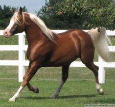Chocolate Palomino horse......beautiful!