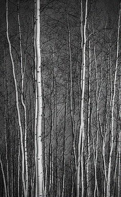 A dark, birch tree forrest #nyfw