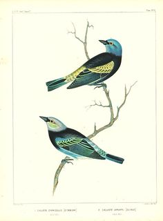Antique print: picture of Blue-Necked Tanager And Golden-Hooded Tanager - Calliste cyanicollis and larvata