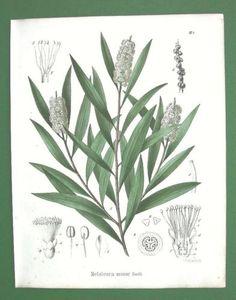 CAJEPUT-OIL-Medicinal-Plant-Melaleuca-Minor-1858-H-C-Color-Antique-Print