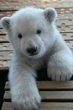 What do polar bears eat? In this article we are going to focus on the types of food that polar bears eat in the wild as well as in captivity. Cute Baby Animals, Animals And Pets, Funny Animals, Wild Animals, Animals Photos, Baby Polar Bears, Grizzly Bears, Polar Cub, Cute Polar Bear