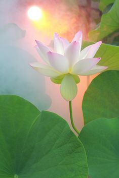 Lotus Flower - DD0A2811-1000 | by Bahman Farzad