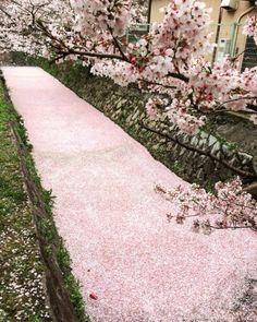 carudamon119:  Takuya Nakayama@takuyama_3哲学の道の桜が素晴らしいことになってる。