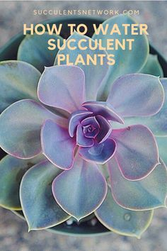 Watering is the major issue for succulents. If you overwater, no matter how good your soil mixture you can kill the plant easily. This free guide will help you to learn proper watering methods! Watering Succulents, How To Water Succulents, Planting Succulents, Plant Guide, Plant Care, Backyards, Gardening, Plants, Free