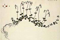 107932 Linnaea borealis L. / Flora Danica [G. Oeder et al], fasicle t. Plant Illustration, Botanical Illustration, Botanical Prints, Botanical Gardens, Flora Danica, Botany, Art Google, Flower Designs, Flower Art