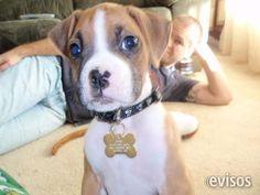 Excelente camada de Boxer, edad 3 meses  Excelente camada de Boxer, edad 3 meses. Bi-color Basset H ..  http://alicante-city.evisos.es/excelente-camada-de-boxer-edad-3-meses-id-657364