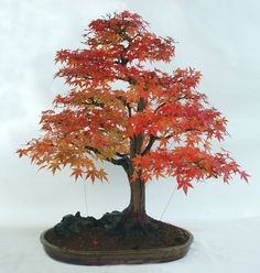 Mountain Maple originally created from a sapling by Ruth Stafford Jones