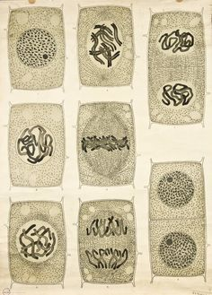 Visualising the Cell Nucleus -- Anatomia Vegetal 1929, pub. by FE Wachsmuth a