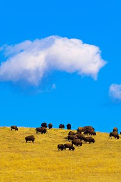 American Bison, Custer State Park ~ Black Hills, South Dakota