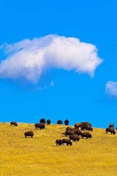 American bison (American buffalo), Custer State Park, Black Hills, South Dakota by Blaine Harrington