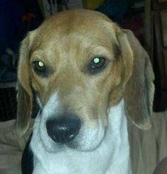 #Lostdogs #Jacksonville #FL Ricker Rd Two male #Beagles 904-655-8712 https://m.facebook.com/story.php?story_fbid=648147238608765&id=128776117212549