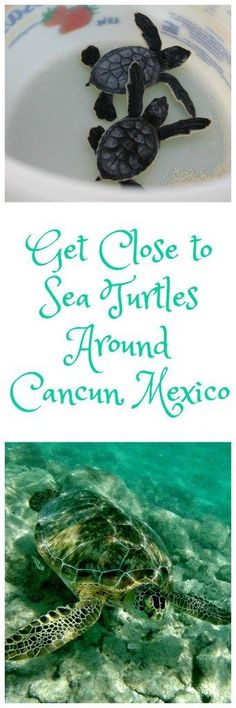 Getting Involved with Sea Turtles Around Cancun and Riviera Maya, Mexico…