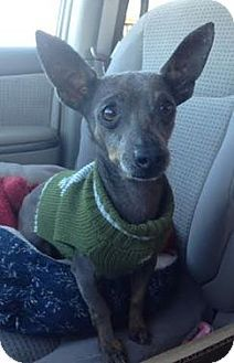 Pictures of Javier a Xoloitzcuintle/Mexican Hairless/Chihuahua Mix for adoption in Fort Worth, TX who needs a loving home.