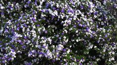 Que tal perfumar a casa com um lindo Manacá-de-cheiro?? Veja mais sobre esse lindo arbusto no blog do Ateliê!