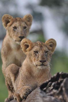 David Lewis, Little governors camp Masai Mara, Kenya