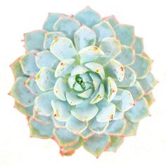 Succulent Photography, Southwest Art, Radial Echevaria Succulent... (€13) ❤ liked on Polyvore featuring home, home decor, wall art, southwest wall art, photography wall art, spring wall art, southwestern wall art and pink home decor