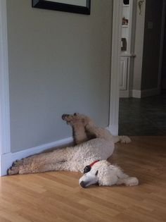 Odie having a snooze. Do all poodles do this?